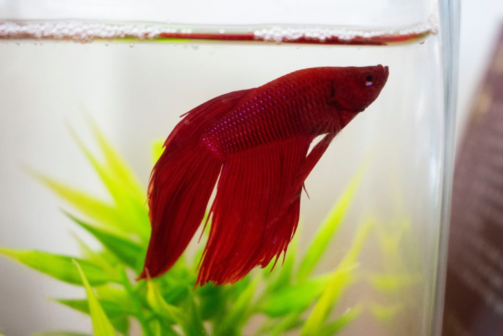 Red Fish: Beauty Of Our Aquarium